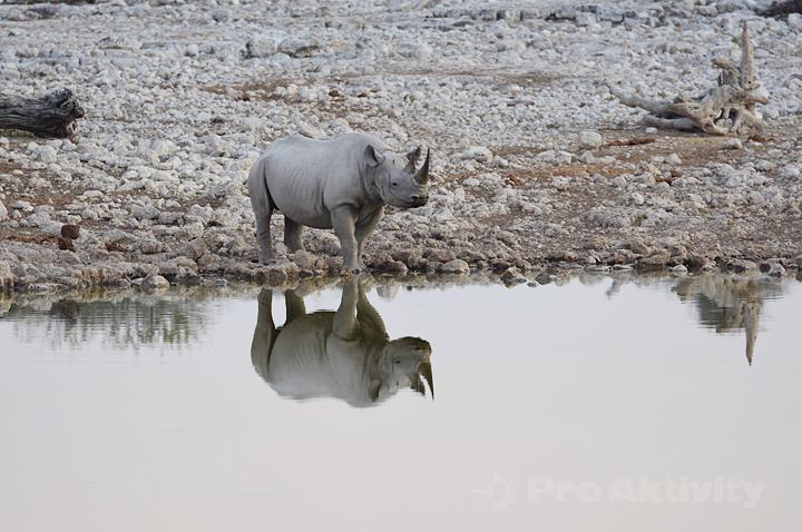 Namibie - NP Etosha, napajedlo Okaukuejo - nosorožec dvourohý