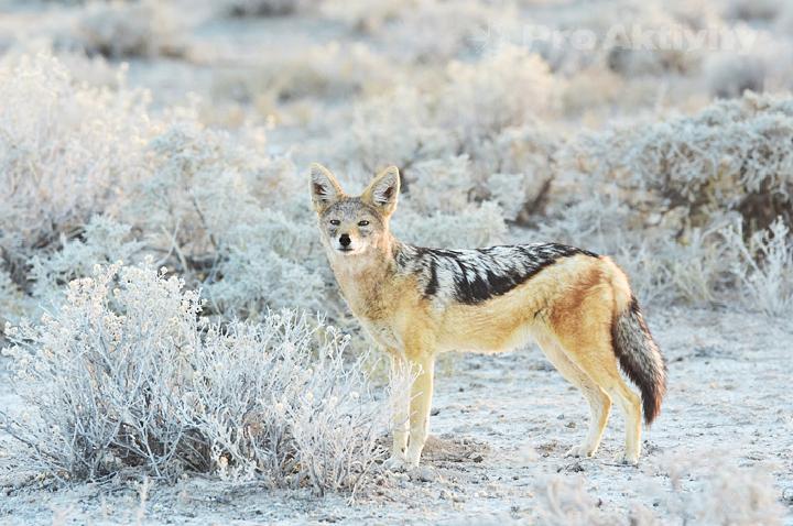 Namibie - NP Etosha - šakal čabrakový