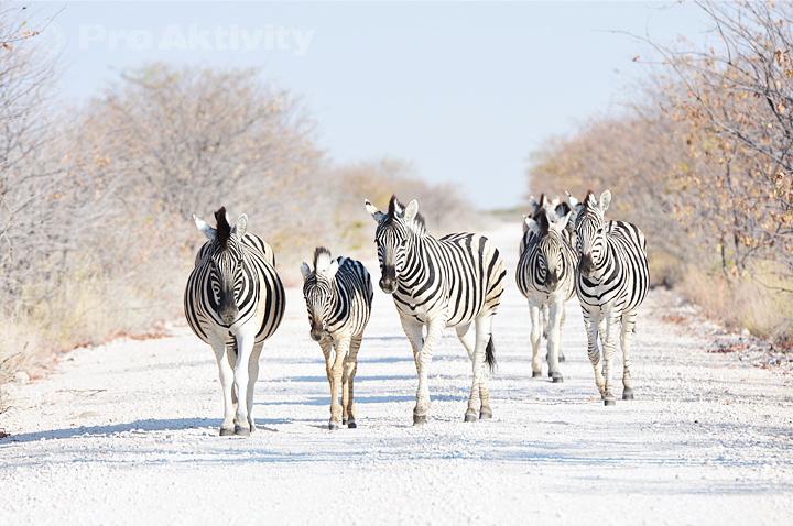 Namibie - NP Etosha, Rhino Drive - zebry stepní