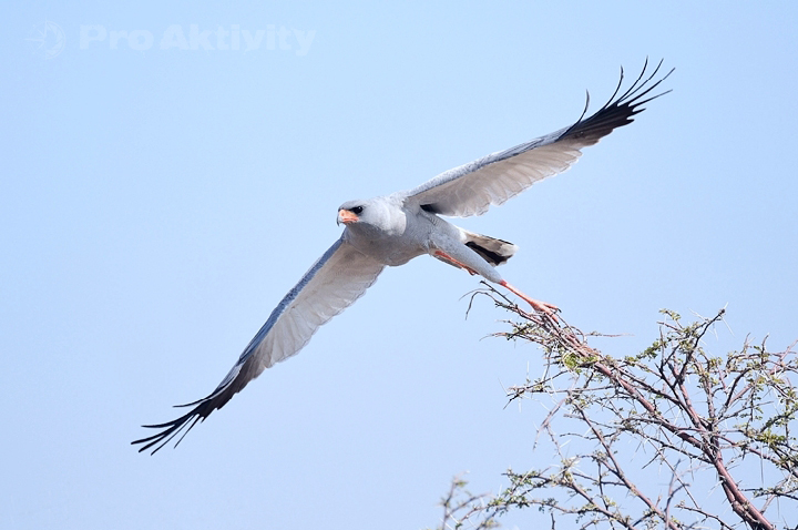 Namibie - NP Etosha - jestřáb kukačkovitý