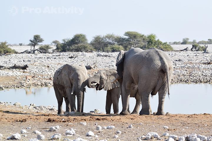 Namibie - NP Etosha, napajedlo Okaukuejo - sloni afričtí