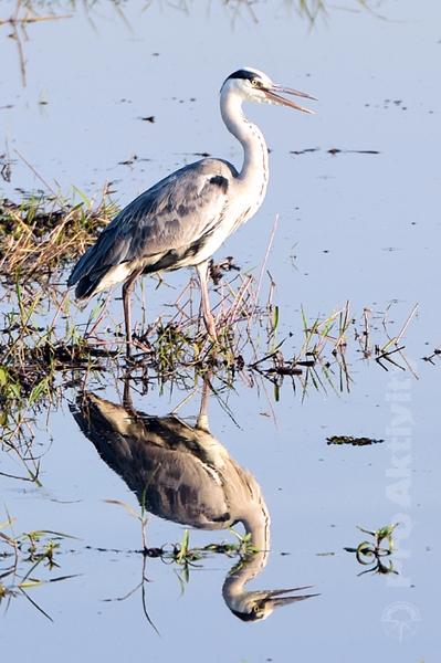 Botswana - NP Chobe - volavka popelavá