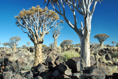 Namibie - Quivertree Forest
