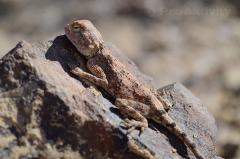 Namibie - Petrified Forest - Gekon Bibronův, Pachydactylus bibronii